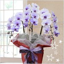 紫の胡蝶蘭パープルエレガンス3本立
