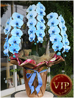 33輪青い胡蝶蘭ブルーエレガンス[3本立] 35000円(税込)<br>[レビュー割引有]