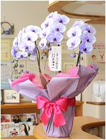 27輪紫の胡蝶蘭パープルエレガンス[3本立] 27000円(税込)<br>