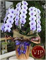 33輪紫の胡蝶蘭パープルエレガンス[3本立] 35000円(税込)<br>[レビュー割引後]