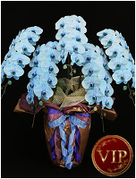 60輪青い胡蝶蘭ブルーエレガンス[5本立] 63000円(税込) [レビュー割引有]