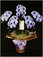 45輪紫の胡蝶蘭パープルエレガンス[5本立] 43000円(税込) [レビュー割引後]
