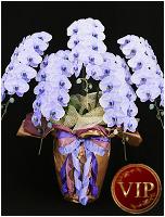 60輪紫の胡蝶蘭パープルエレガンス[5本立] 63000円(税込) [レビュー割引後]
