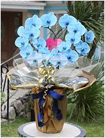 ハート型青い胡蝶蘭ブルーエレガンス[2本立] 32000円(税込) [レビュー割引有]