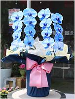 青い胡蝶蘭ブルーエレガンス[2本立] 19000円(税込)