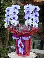 紫の胡蝶蘭パープルエレガンス[2本立] 18000円(税込)