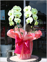 グリーンの胡蝶蘭グリーンエレガンス[2本立] 17000円(税込) [レビュー割引後]