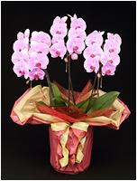 30輪ピンクの胡蝶蘭[3本立] 15500円(税込)
