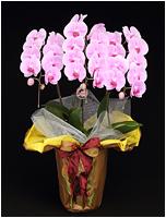 33輪ピンクの胡蝶蘭[3本立] 15500円(税込)