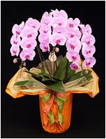 36輪ピンクの胡蝶蘭[3本立] 15500円(税込)