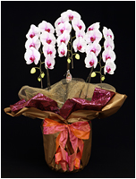 30輪白赤の胡蝶蘭[3本立] 15500円(税込)