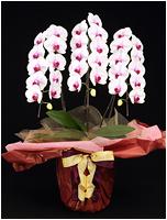 33輪白赤の胡蝶蘭[3本立] 15500円(税込)