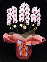 36輪白赤の胡蝶蘭[3本立] 15500円(税込)