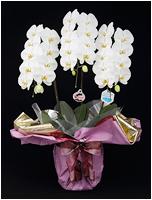 白い胡蝶蘭[3本立] 15500円(税込)