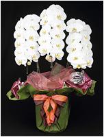 33輪白い胡蝶蘭[3本立] 15500円(税込)