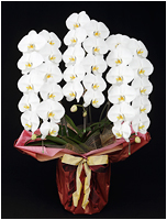 36輪白い胡蝶蘭[3本立] 15500円(税込)
