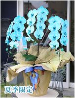 27輪青緑の胡蝶蘭マリンエレガンス[3本立] 27000円(税込) [レビュー割引後]
