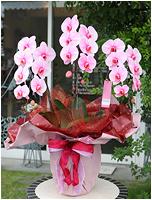 27輪ピンクの胡蝶蘭ピンクエレガンス[3本立] 26000円(税込) [レビュー割引後]