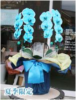 青緑の胡蝶蘭マリンエレガンス[2本立] 16000円(税込) [レビュー割引後]