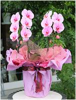 ピンクの胡蝶蘭ピンクエレガンス[2本立] 16000円(税込) [レビュー割引後]