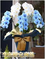 青と白の胡蝶蘭極上エレガンス[5本立] 43000円(税込) [レビュー割引有]
