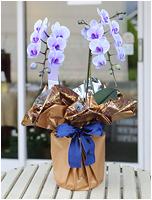 紫の胡蝶蘭パープルエレガンス[2本立ミディ] 11000円(税込) [レビュー割引後]