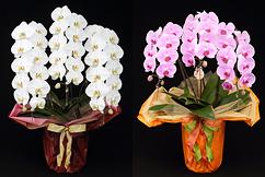 LED光で栽培した高寿命胡蝶蘭