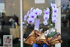 ハート型紫のミディ胡蝶蘭