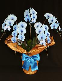 45輪青い胡蝶蘭ブルーエレガンス[5本立]
