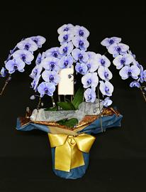 45輪紫の胡蝶蘭パープルエレガンス[5本立]
