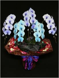 45輪青と紫の胡蝶蘭極上エレガンス[5本立]