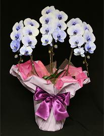 27輪紫の胡蝶蘭パープルエレガンス[3本立]