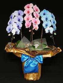 27輪3色の胡蝶蘭サプライズエレガンス[3本立]