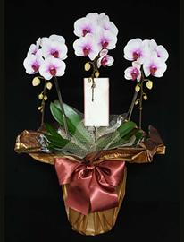 白赤の胡蝶蘭[3本立]