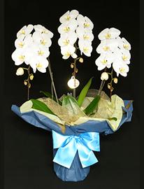 白い胡蝶蘭[3本立]