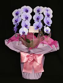 紫の胡蝶蘭パープルエレガンス[2本立]