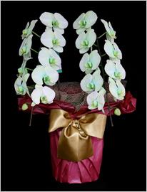 緑の胡蝶蘭グリーンエレガンス[2本立]
