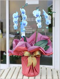 青い胡蝶蘭ブルーエレガンス2本立ミディ