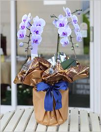 紫の胡蝶蘭パープルエレガンス2本立ミディ