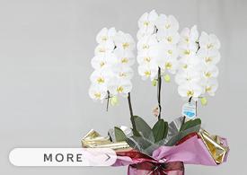 白い胡蝶蘭3本立