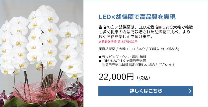 特許取得白い胡蝶蘭