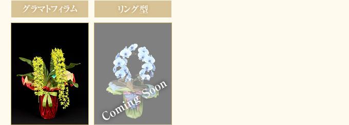 ブルーエレガンスパープルエレガンス胡蝶蘭の大きさから選ぶ