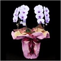 27輪紫の胡蝶蘭パープルエレガンス[2本立]